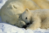 Фотообои Komar National Geographic 1-605 Polar Bears  NG