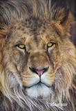 Фотообои Komar National Geographic 1-619 Lion